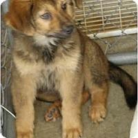 Adopt A Pet :: Darla - New Boston, NH