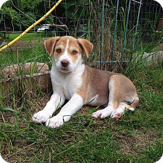 Collie/Retriever (Unknown Type) Mix Puppy for adoption in Saskatoon, Saskatchewan - Lady Gaga