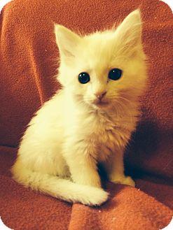 Maine Coon Kitten for adoption in Nashville, Tennessee - Reagan
