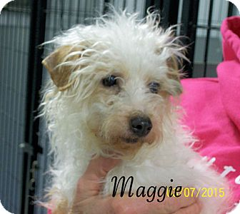 Miniature Poodle/Pomeranian Mix Dog for adoption in Hartford, Kentucky - Maggie