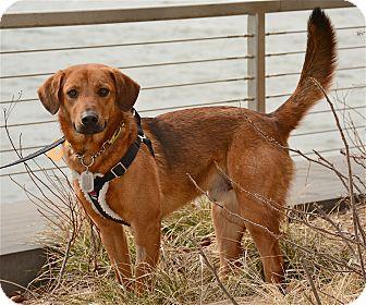 Retriever (Unknown Type)/Rhodesian Ridgeback Mix Dog for adoption in Jersey City, New Jersey - Harry Truman
