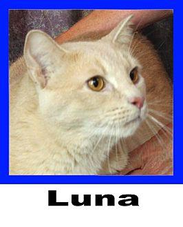 Domestic Shorthair Cat for adoption in Wichita Falls, Texas - Luna
