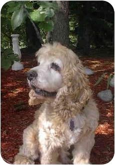 Cocker Spaniel Dog for adoption in Ortonville, Michigan - Tyler