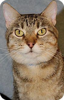 Domestic Shorthair Cat for adoption in Savannah, Missouri - Sherman