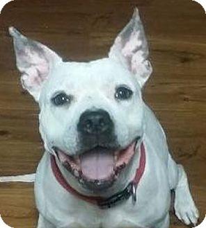 American Bulldog Mix Dog for adoption in Miami, Florida - Baby