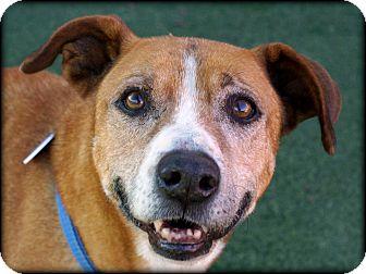 Labrador Retriever Mix Dog for adoption in Vista, California - Cookie