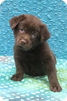 Labrador Retriever/Husky Mix Puppy for adoption in Bedminster, New Jersey - Edward