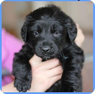 German Shepherd Dog/Labrador Retriever Mix Puppy for adoption in Fredericksburg, Virginia - Goose/Rocco- Adoption Pending