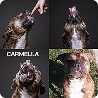 Adopt A Pet :: Carmella - Grafton, OH