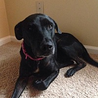 Labrador Retriever Mix Dog for adoption in Jacksonville, Florida - Sasha