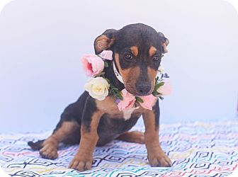 Dachshund Mix Puppy for adoption in Auburn, California - Macy