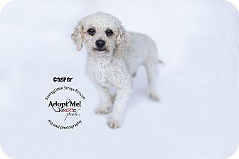 Miniature Poodle Mix Dog for adoption in Aqua Dulce, California - Casper