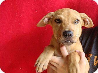 Rhodesian Ridgeback/Labrador Retriever Mix Puppy for adoption in Oviedo, Florida - Chloe