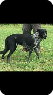 Blue Heeler/Labrador Retriever Mix Dog for adoption in Woodward, Oklahoma - Play