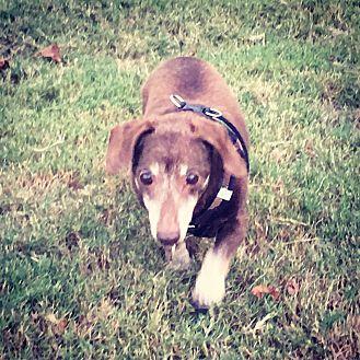 Dachshund Dog for adoption in Decatur, Georgia - Arrow