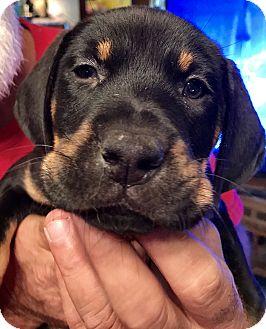 Shepherd (Unknown Type)/Hound (Unknown Type) Mix Puppy for adoption in ST LOUIS, Missouri - Mumbly
