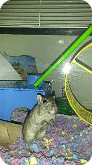 Gerbil for adoption in haslet, Texas - skittles