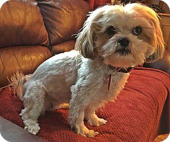 Shih Tzu Mix Dog for adoption in Toronto, Ontario - Chloe
