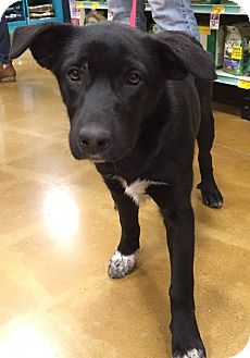 German Shepherd Dog/Labrador Retriever Mix Puppy for adoption in Sugar Grove, Illinois - Sabrina