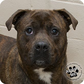 Pit Bull Terrier Mix Dog for adoption in Troy, Ohio - Niffler