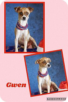 Jack Russell Terrier/Rat Terrier Mix Dog for adoption in Scottsdale, Arizona - Gwen