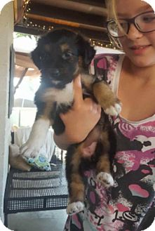 Australian Shepherd/Border Collie Mix Puppy for adoption in Phoenix, Arizona - Daisy