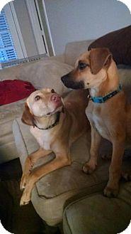 Rhodesian Ridgeback/Shepherd (Unknown Type) Mix Puppy for adoption in Raleigh, North Carolina - Teddy