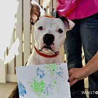 American Bulldog Mix Dog for adoption in Albuquerque, New Mexico - BOULDER