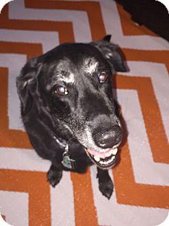 Labrador Retriever Dog for adoption in Annapolis, Maryland - Lucky #2