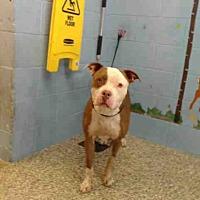 Adopt A Pet :: URGENT on 8/19 SAN BERNARDINO - San Bernardino, CA