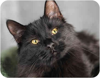 Domestic Longhair Cat for adoption in Chicago, Illinois - Fish