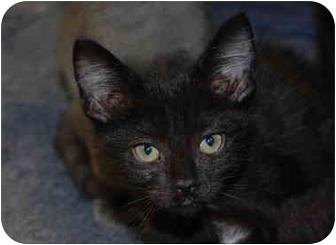 Domestic Shorthair Kitten for adoption in Putnam Hall, Florida - Mario