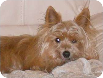 Yorkie, Yorkshire Terrier/Maltese Mix Dog for adoption in Tallahassee, Florida - Dan-O
