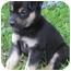 Photo 3 - Collie Mix Puppy for adoption in Mt. Prospect, Illinois - Strudel