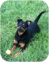 Miniature Pinscher/Labrador Retriever Mix Dog for adoption in Green Cove Springs, Florida - Ranger