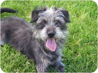 Schnauzer (Miniature)/Terrier (Unknown Type, Small) Mix Dog for adoption in Patterson, California - MICK