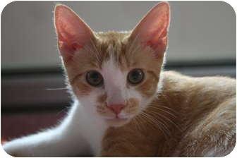 Domestic Shorthair Kitten for adoption in Frederick, Maryland - Percy