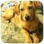 Photo 1 - Golden Retriever Mix Dog for adoption in Allentown, Pennsylvania - Toffee