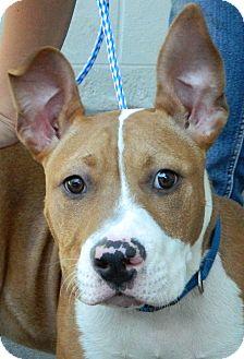 Bull Terrier/Basset Hound Mix Dog for adoption in Lake Arrowhead, California - Grommet