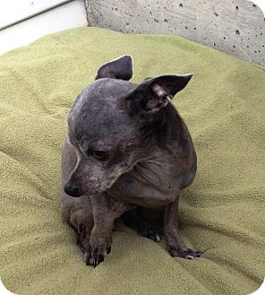 Xoloitzcuintle/Mexican Hairless/Chihuahua Mix Dog for adoption in Snohomish, Washington - Timothy