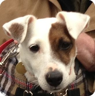 Jack Russell Terrier Dog for adoption in Rhinebeck, New York - Foxy
