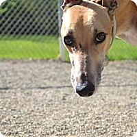 Adopt A Pet :: Buddy (SJ's Buddy Boy) - Chagrin Falls, OH
