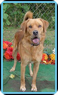 Golden Retriever Mix Dog for adoption in Marietta, Georgia - HICKS (R)