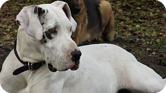 Great Dane Dog for adoption in Green Cove Springs, Florida - Daisy Dane