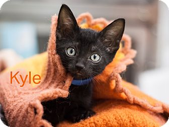 Domestic Shorthair Kitten for adoption in Dallas, Texas - Kyle