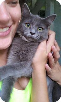 Domestic Shorthair Kitten for adoption in Savannah, Georgia - Jan
