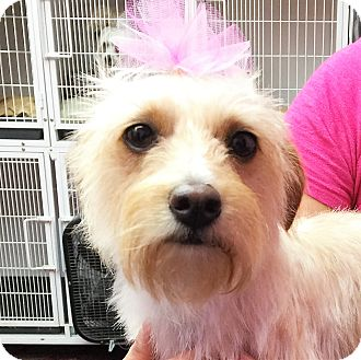 Cairn Terrier/Silky Terrier Mix Dog for adoption in CHAMPAIGN, Illinois - DAISY
