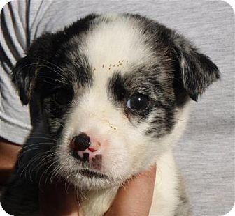 Australian Cattle Dog/Australian Shepherd Mix Puppy for adoption in San Antonio, Texas - Baby Sugar