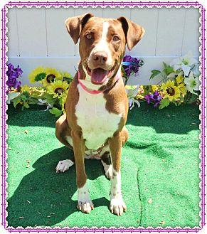 Pointer Mix Dog for adoption in Marietta, Georgia - ROSEY