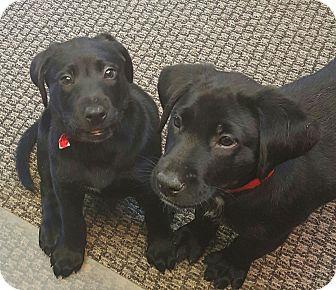 Labrador Retriever Puppy for adoption in Gainesville, Georgia - ranger